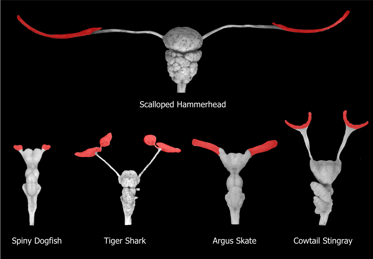 "Adapted from: 7.	Yopak KE, Lisney TJ, Collin SP. 2015. Not all sharks are ""swimming noses"": Variation in olfactory bulb size in cartilaginous fishes. Brain Structure and Function. 220: 1127-1143"